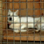 Pennsylvania Puppy Mill Laws