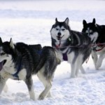 Iditarod Sled Dog Trail Race starts Saturday!
