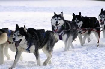 rp_sled-dogs-350x233.jpg