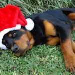 Saturday Survey:  Did Your Dog Have a Good Christmas?