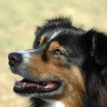 Australian Shepherd Intelligence