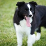 Tuesday Top Ten:  Easiest Dogs to Obedience Train