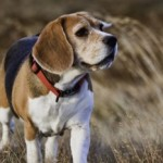 Tuesday Top Ten:  Hardest Dogs to Obedience Train