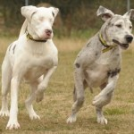 Shelter Sunday:  TWO Great Danes in Great Britain