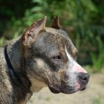 Tuesday Top Ten:  Reasons Why You Can't Trust Pit Bulls