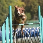 20-inch dogs:  Westminster Agility