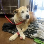 Boomer the Golden Retriever Now Home Following Washington Mudslides