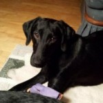Shelter Sunday:  Maine Lab Rescue / Windham, ME