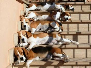Beagle Steps
