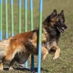 Friday Funny:  Police Dog Agility