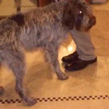 A Wirehaired Pointing Griffon
