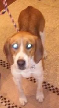 Nope!  Not my beloved Beagle, but a Harrier instead.