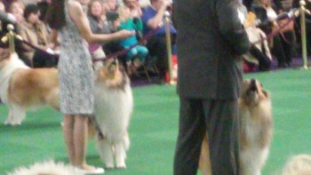 The Rough Collie competition