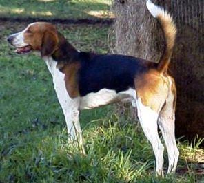 Am Foxhound