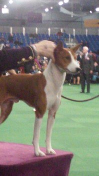 Basenji on the judging stand