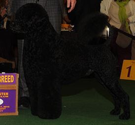Matisse (Photo:  Westminster Kennel Club)