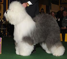 Swagger (Photo:  Westminster Kennel Club)