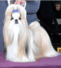 Rocket (Photo:  Westminster Kennel Club)