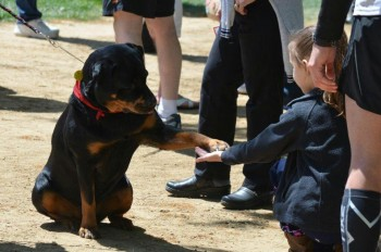 ACE Wynd Therapy Rottweiler