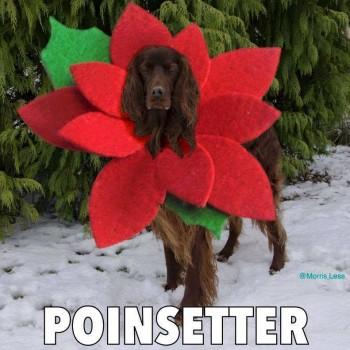 FF Poinsetter
