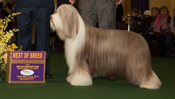 Aberlours Doctor Zhivago (Bearded Collie)