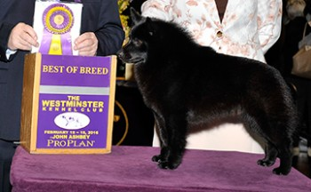 Bonchien Lawless V Jet (Schipperke)