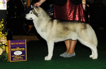 The Siberian Husky, Snowfire's Holy Moses