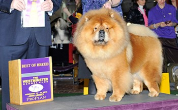 Flamingstar The Lion King (Chow Chow)