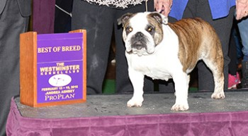 Imperious Hamitup Southern Bell (Bulldog)