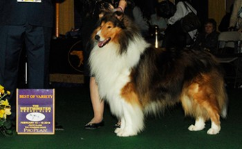 Pleasant Acre Creekwood Rock Star (Rough Collie)