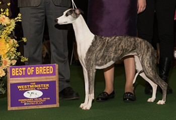 GCH Sporting Fields Shameless (Whippet)