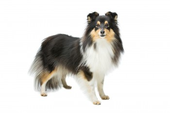 Tricolor sheltie dog