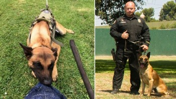 On the left, Long Beach police K-9 Credo in a training photo posted to the police department's Facebook page in 2014. The LBPD tweeted a photo of the 4-year-old Belgian Malinois with his handler, Officer Mike Parcells. Photo credit: Long Beach Police Department