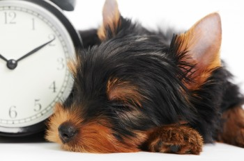 One little Yorkshire Terrier (3 month) puppy dog with alarm cloc