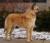 Belgian Laekenois, a herding dog from Belgium Credit:  AKC.org