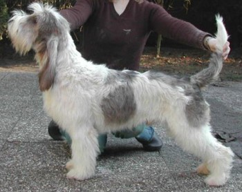Grand Basset Griffon Vendeens (who knew they weren't in the stud book yet?), a French scent hound, big brother to the PBGVCredit:  AKC.org