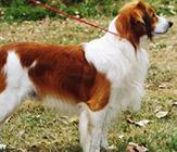 Nederlandse Kooikerhondjes, a Dutch sporting dogCredit:  AKC.org