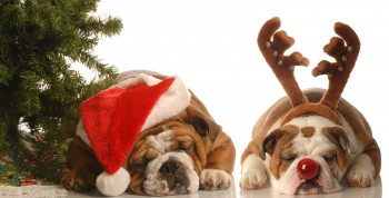 Bulldog Santa And Under Christmas Tree