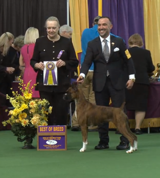 Devlin, pictured here winning his breed at Westminster.  Photo courtesy:  Mephisto Boxers Facebook page