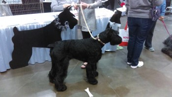 Nope, you're not seeing double.  This is just one Giant Schnauzer, standing in front of an amazingly lifelike cut-out.