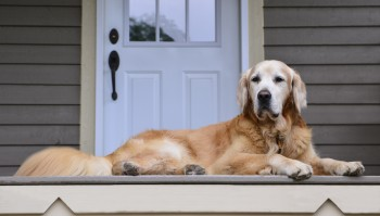 Golden retriever laying down on the porch in front of the door