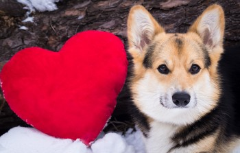 Dog with a red heart. Valentine day.