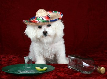 a beautiful Bichon Frise celebrates Cinco de Mayo with Tequila a