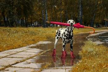 Dog walking with umbrella after autumn rain