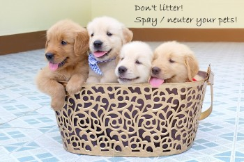 Many golden retriever puppy lovely in a gold basket