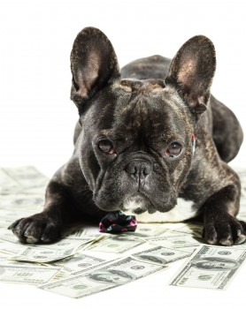 French bulldog dog lying on money banknotes