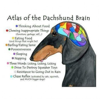 Dachshund Brain