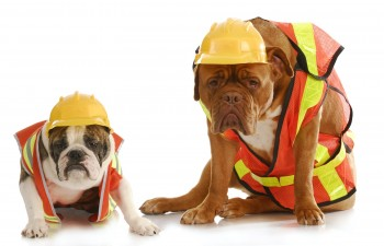 working dogs - english bulldog and dogue de bordeaux dressed lik