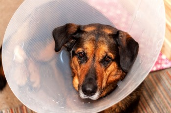 Sick dog wearing a funnel collar. Treatment of injured hind legs of a dog