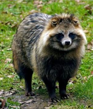East Asian Raccoon Dog